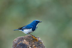 Ultramarine flycatcher ,Birds. Royalty Free Stock Images