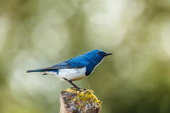 Ultramarine flycatcher ,Birds. Stock Photos