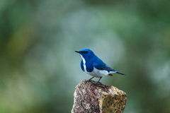 Ultramarine flycatcher ,Birds. Stock Image