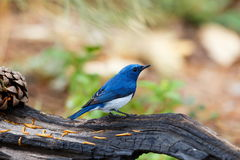 Ultramarine flycatcher ,Birds. Stock Photo