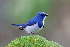 Ultramarine Flycatcher Ficedula superciliaris Beautiful Male Birds of Thailand. Ultramarine Flycatcher Ficedula superciliaris Beautiful Male Bird of Thailand Stock Photo