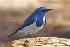 Ultramarine Flycatcher Ficedula superciliaris Beautiful Male Birds of Thailand. Ultramarine Flycatcher Ficedula superciliaris Beautiful Male Bird of Thailand Royalty Free Stock Photography