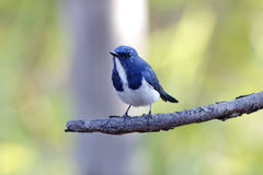 Ultramarine Flycatcher Ficedula superciliaris Royalty Free Stock Photography