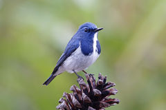 Ultramarine Flycatcher Ficedula superciliaris Cute Birds of Thailand Stock Photo