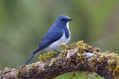 Ultramarine Flycatcher Ficedula superciliaris Cute Male Birds of Thailand Royalty Free Stock Photo