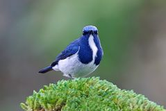 Ultramarine Flycatcher Ficedula superciliaris Cute Male Birds of Thailand. Ultramarine Flycatcher Ficedula superciliaris Cute Male Bird of Thailand Royalty Free Stock Images