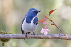 Ultramarine Flycatcher Ficedula superciliaris Male Bird and Flower Royalty Free Stock Photo