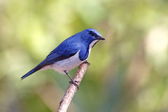 Ultramarine Flycatcher Ficedula superciliaris Male Royalty Free Stock Photo