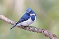 Ultramarine Flycatcher Ficedula superciliaris Male Birds of Thailand Royalty Free Stock Image