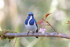 Ultramarine Flycatcher Ficedula superciliaris Male Birds of Thailand Royalty Free Stock Images