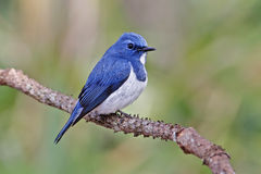 Ultramarine Flycatcher Ficedula superciliaris Male Birds of Thailand Royalty Free Stock Photography
