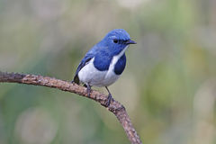 Ultramarine Flycatcher Ficedula superciliaris Male Birds of Thailand Stock Photo