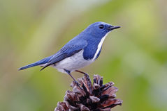 Ultramarine Flycatcher Ficedula superciliaris Male Birds of Thailand Royalty Free Stock Photo