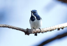 Ultramarine Flycatcher Ficedula superciliaris Male Cute Birds of Thailand Royalty Free Stock Photos