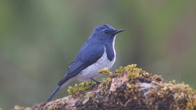 Ultramarine Flycatcher Ficedula superciliaris Male Cute Birds of Thailand stock video