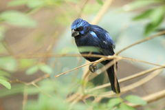 Ultramarine grosbeak. Sitting on the branch Stock Photos