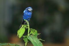 Ultramarine grosbeak. Sitting on the leaf Royalty Free Stock Photography