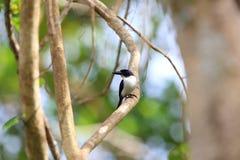 Ultramarine kingfisher. Todiramphus leucopygius in Solomon Island Stock Photo