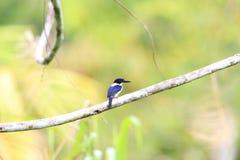 Ultramarine kingfisher. Todiramphus leucopygius in Solomon Island Stock Image