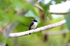 Ultramarine kingfisher. Todiramphus leucopygius in Solomon Island Stock Images