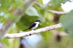 Ultramarine kingfisher. Todiramphus leucopygius in Solomon Island Royalty Free Stock Images