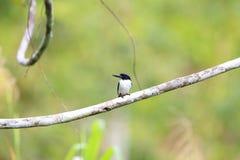 Ultramarine kingfisher. Todiramphus leucopygius in Solomon Island Stock Photos