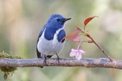 Ultramarynowi Flycatcher Ficedula superciliaris Męski ptak i kwiat zdjęcie royalty free