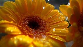 Ultrarapid av att falla för blommacloseup- och vattendroppar stock video