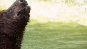 Ultrarapid av brunbjörnen som badar i floden till förnyat Vuxen Ursus Arctos stock video