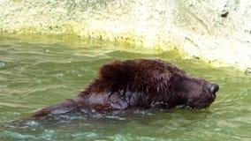 Ultrarapid av brunbjörnen som badar i floden till förnyat Vuxen Ursus Arctos arkivfilmer