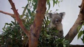 Ultrarapid av den gulliga koalan som äter eukalyptusblad i skogsmarker på zoo arkivfilmer