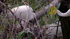 Ultrarapid av den vita egrettagarzettaen för moder som matar hennes gröngölingar i rede arkivfilmer