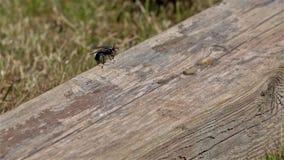 Ultrarapid av en fluga på trä arkivfilmer