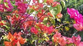Ultrarapid av färgrika bougainvilleablommor i Indonesien stock video