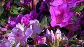 Ultrarapid av humlan som pollinerar härliga blommor Humlablomning arkivfilmer