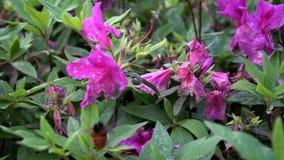 Ultrarapid av humlan som pollinerar härliga blommor Humlablomning stock video