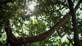 Ultrarapid av ljusa solsken till och med asiatisk trädlövverk från berget arkivfilmer