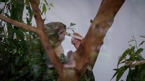 Ultrarapid av veterinären som ger injektionläkarbehandlingen till en sjuk koala stock video
