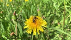 Ultrarapid Honey Bee som samlar pollen arkivfilmer