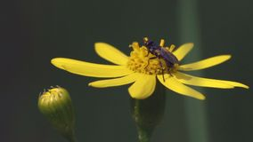 Ultrarapid makroen, fluga samlar Nectar From Yellow Flower stock video