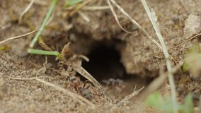 Ultrarapid: myror som kryper runt om ingången till ettkulle hål arkivfilmer