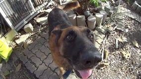 Ultrarapid och fokusen på den tyskShepard hunden går ut hem- och skakar dess huvud lager videofilmer