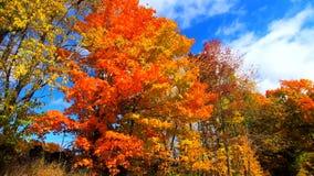 Ultrarapid - Pan Across Yellow och apelsinsidor som blåser i bris under nedgångfärger i Vermont lager videofilmer