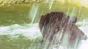 Ultrarapid slut upp av brunbjörnen som badar i vattenfall Lös Ursus Arctos stock video