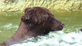 Ultrarapid slut upp av brunbjörnen som badar i vattenfall Lös Ursus Arctos lager videofilmer