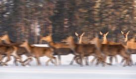 Ultrarapid: Ställning för tre hjortar för kvinnlig som nobel är orörlig bland den rinnande flocken i bakgrunden av vintern Forest arkivbilder