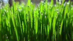 Ultrarapidgräs som täckas med daggdroppar lager videofilmer
