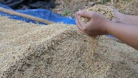 Ultrarapidhänder av kvinnan som väljer torra ris för natur från lantgården stock video