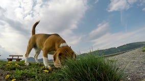 Ultrarapidlängd i fot räknat av en beagle som sniffar något på jordningen lager videofilmer