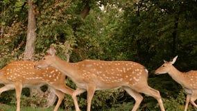 Ultrarapidvideo av den lösa flyttningen för hjortfamiljgrupp i lös natur av den Sri Lanka nationalparken Yala Härliga djur in lager videofilmer
